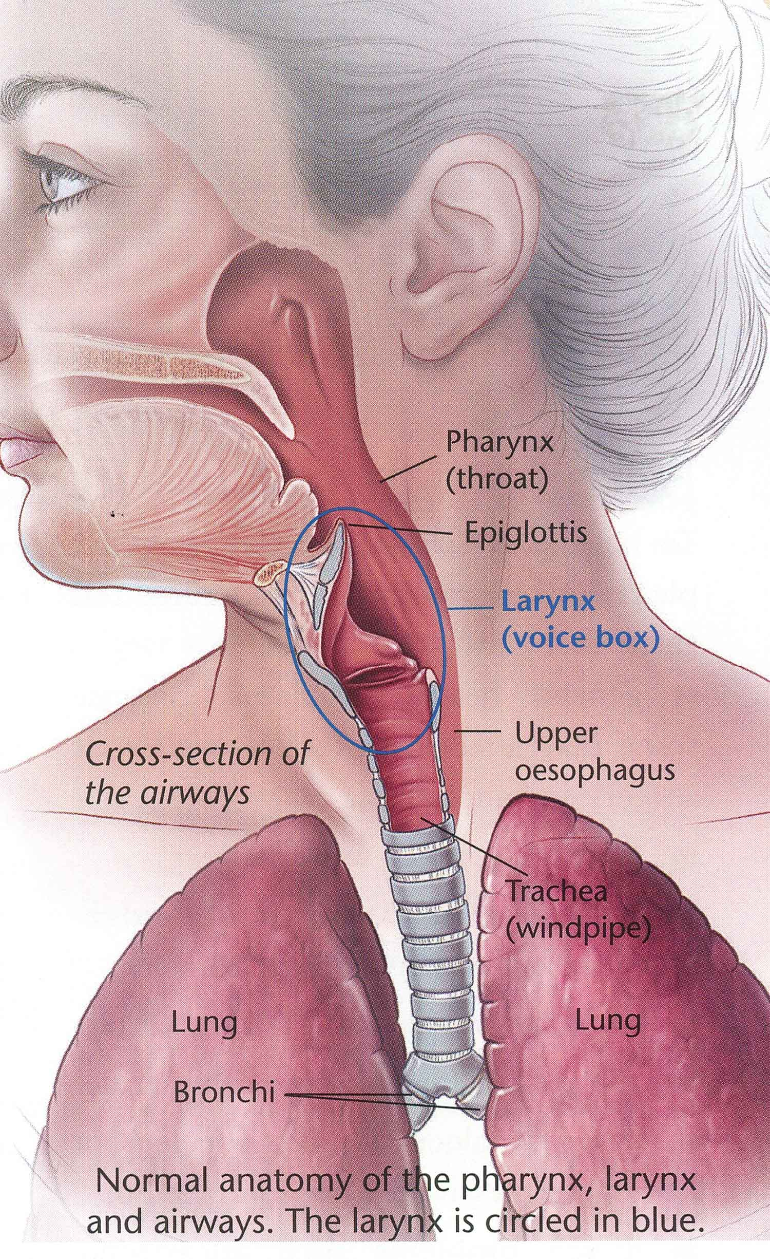 Beautiful Anatomy Of Voice Box Images - Human Anatomy Images ...