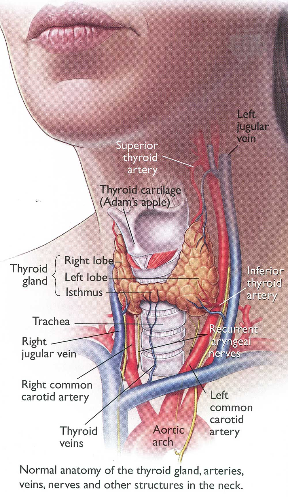 Thyroidectomy Removing The Thyroid Gland Dr Bridget Clancy Ent